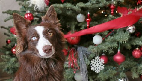 are christmas trees poisonous to cats best 28 are trees poisonous to dogs plants poisonous to pets pet365 are