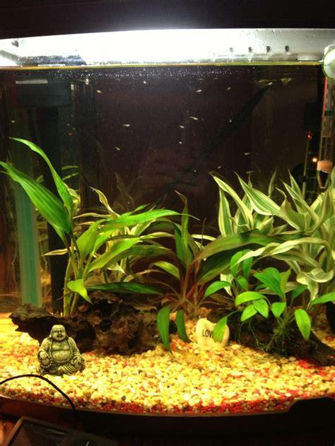aquarium design for guppies tank full of baby guppies pets pinterest babies