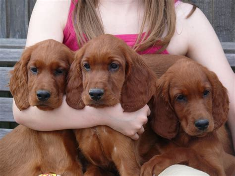 setter puppies setter puppies launceston cornwall pets4homes