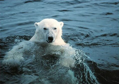 two polar bears in a bathtub polar bears are drowning in the arctic flickr photo