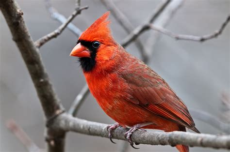 Picture Of A Cardinal Bird