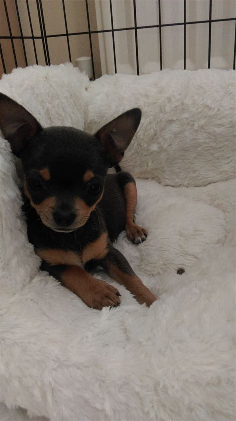 13 week puppy 13 week kc chihuahua puppy redcar pets4homes