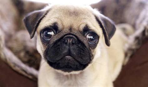 pug eye proptosis pug breed 187 information pictures more