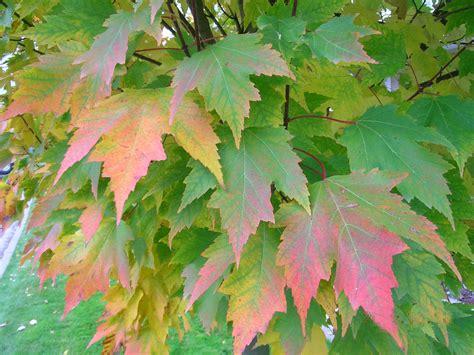 tree profile for the karpick maple forest nursery inc
