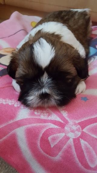 shih tzu puppies for sale in hertfordshire shih tzu puppies for sale borehamwood hertfordshire pets4homes