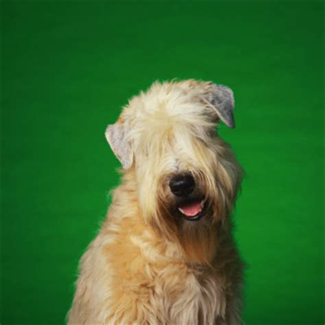 short haired wheaton soft coated wheaten terrier 15 hypoallergenic dogs and