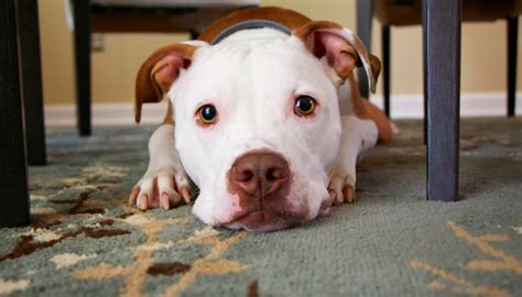 do dogs feelings 8 studies that answer whether or not dogs feelings puppy leaks