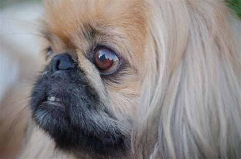 pekingese puppies pekingese health and wellness pets4homes