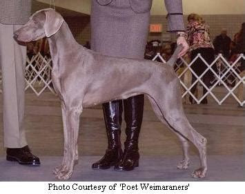 weimaraner puppies for sale in michigan weimaraner