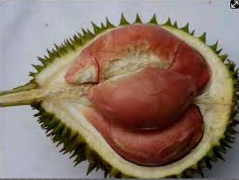 Bibit Durian Bawor Pak Sarno asal mula bibit durian bawor produk pt nusantara