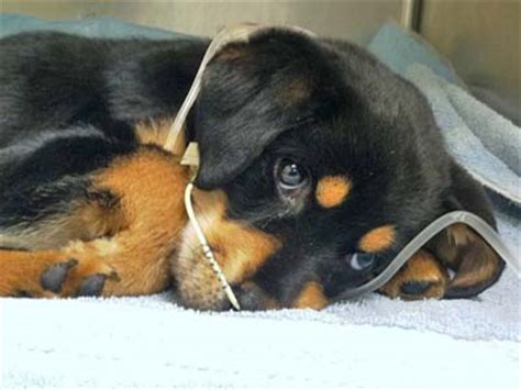 puppies with parvo canine parvovirus infection