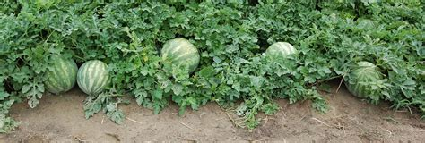 How To Plant Watermelon In A Garden by Watermelon Plant Care Guide Auntie Dogma S Garden Spot