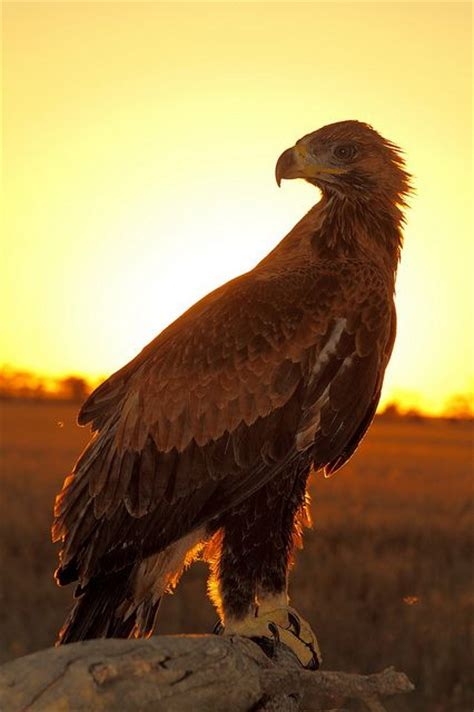 Australian Wedge Tailed Eagle Gives You Some Ideas Of The - 10 best images about wedge tailed eagle australia on