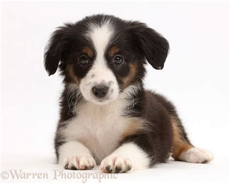 mini american shepherd puppies mini american shepherd puppy photo wp42450