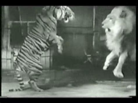imagenes de leones vs tigres tigre vs leon taringa