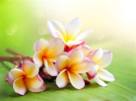free hawaiian flowers backgrounds for powerpoint flower