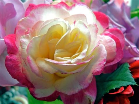 pictures world most amazing roses