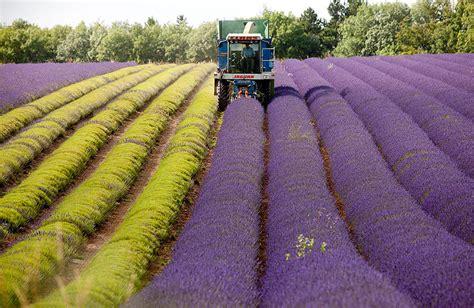the hypnotizing of harvesting lavender 8 pics