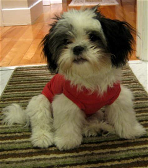 shih tzu temperament lively facts about shih tzus popsugar pets