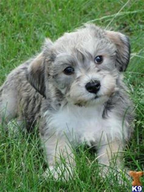 mini hava doodle mini hava doodle puppy for sale hava doodle