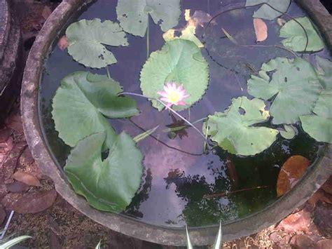 Pupuk Untuk Bunga Teratai mengenal ciri ciri bunga teratai dan manfaatnya kang
