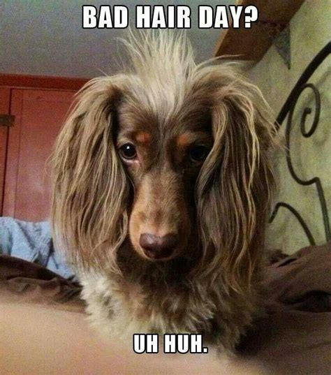 haired weenie 2214 best dachshunds images on weenie dogs animals and dachshunds
