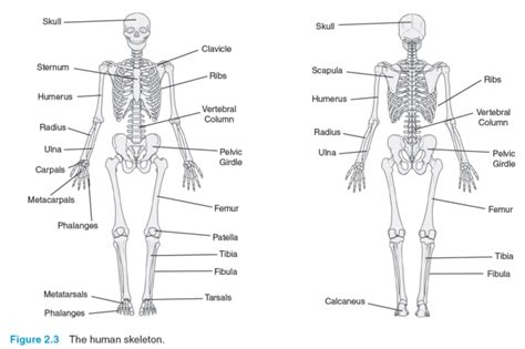 diagram of the skeletal system worksheet muscular system diagram labeled for human anatomy chart