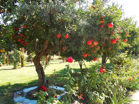 what does a tree to do with pomegranate tree pomegranates pomegranates