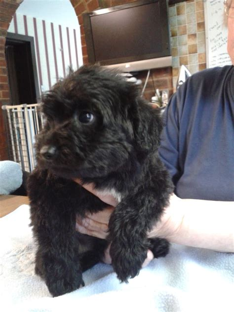 schnoodle style grooming cuts schnoodle grooming styles hairstyle gallery