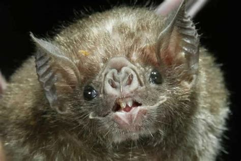 vampire bat   plain suck news