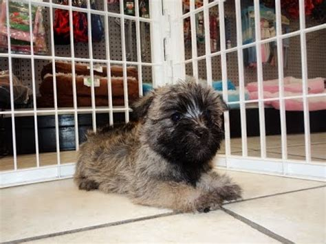puppies for sale in az craigslist cairn terrier puppies dogs for sale in tucson arizona az 19breeders glendale