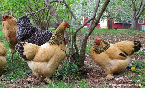 Backyard Chickens 4 Benefits Of A Mixed Flock Of Backyard Chickens