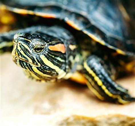 Do Turtles Need A Heat L by Footed Tortoises As Pets Petsmart