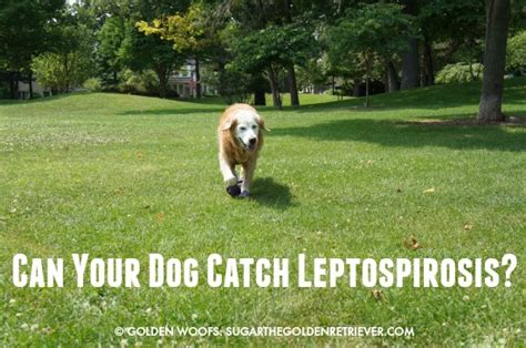 lepto in dogs leptospirosis in dogs golden woofs