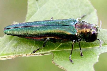 here's how to inspect your trees for emerald ash borer