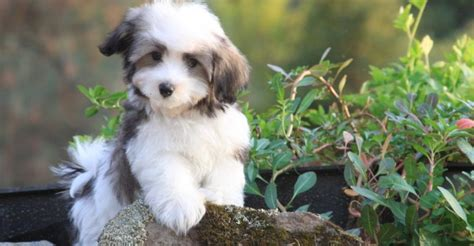 how to take care of a havanese puppy seven important tips for taking care of havanese puppies