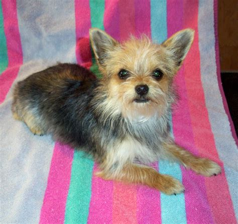 chorkie hair chorkie yorkie chihuahua mix info temperament puppies