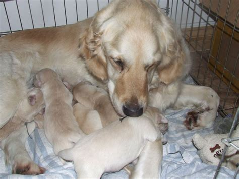 golden retriever puppies swansea gorgeous golden retriever puppies swansea swansea pets4homes
