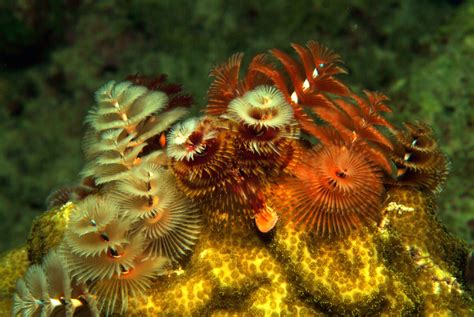 christmas tree worms underwater photos by arthur de bock