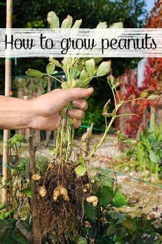 how to grow peanuts an easy guide for gardening beginners peter o toole mushrooms and to grow on pinterest