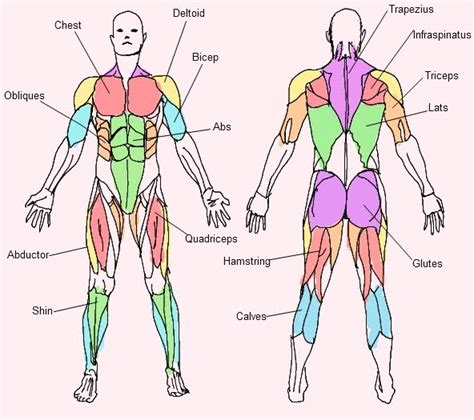 Muscular System Coloring Pages Muscle Muscle System Coloring Pages by Muscular System Coloring Pages