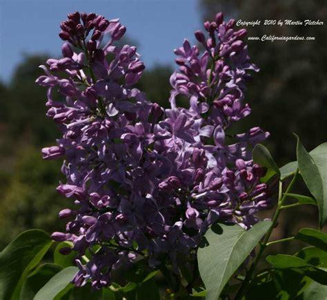 exle winter gardens syringa hyacinthiflora excel lilac excel california