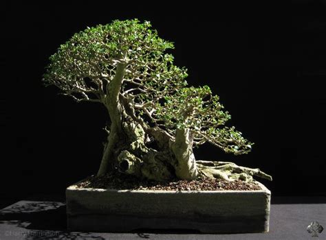 ligustrum privet bonsai empire