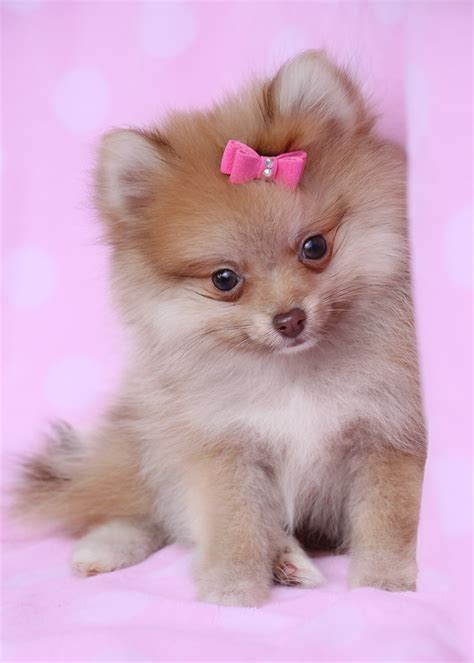 pomeranian accessories teacup pomeranian for sale at south florida teacups puppies boutique
