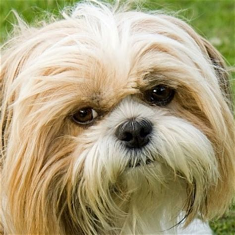 small fluffy dogs small fluffy breeds all about small dogs