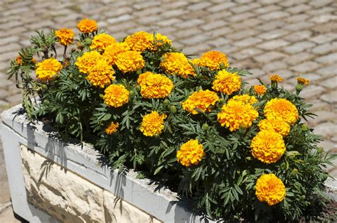 potted marigold plants learn how to grow marigolds in