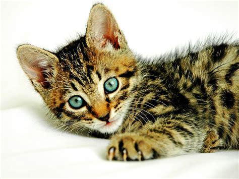 Kuas Cat 3in best desktop hd wallpaper cat desktop wallpapers