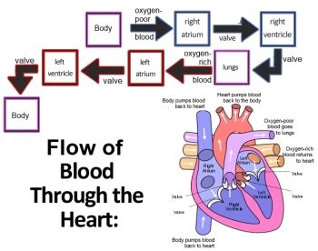 diagram of the and blood flow blood flow through the flowchart create a flowchart