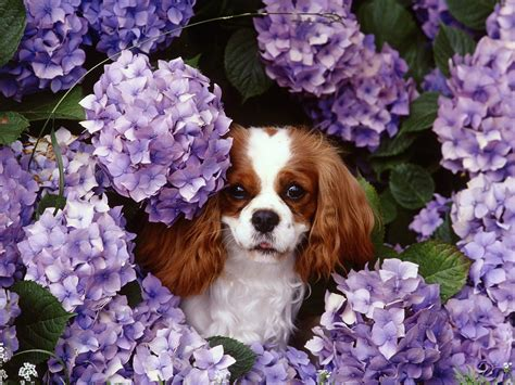 cavalier king charles cavalier king charles spaniels images cavalier king charles spaniel hd wallpaper and