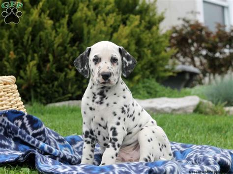 dalmatian puppies for sale in md dalmatian puppies for sale dalmatian breed profile greenfield puppies